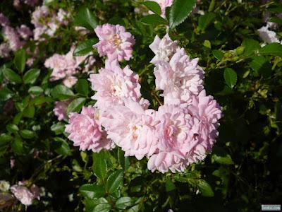 薄紫の薔薇