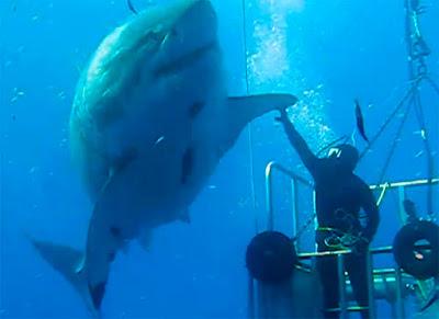 Gran tiburón blanco Deep Blue, Isla de Guadalupe