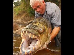 goliat tigerfish
