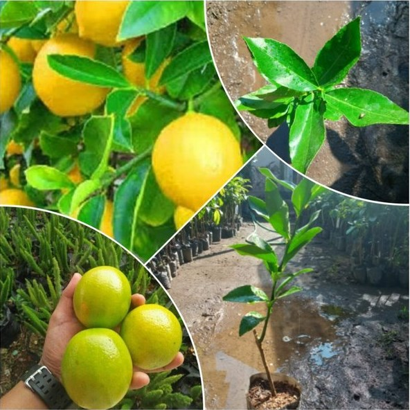 Budidaya Jeruk Lemon California