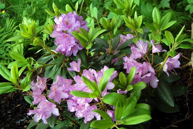 En skog full av rhododendron