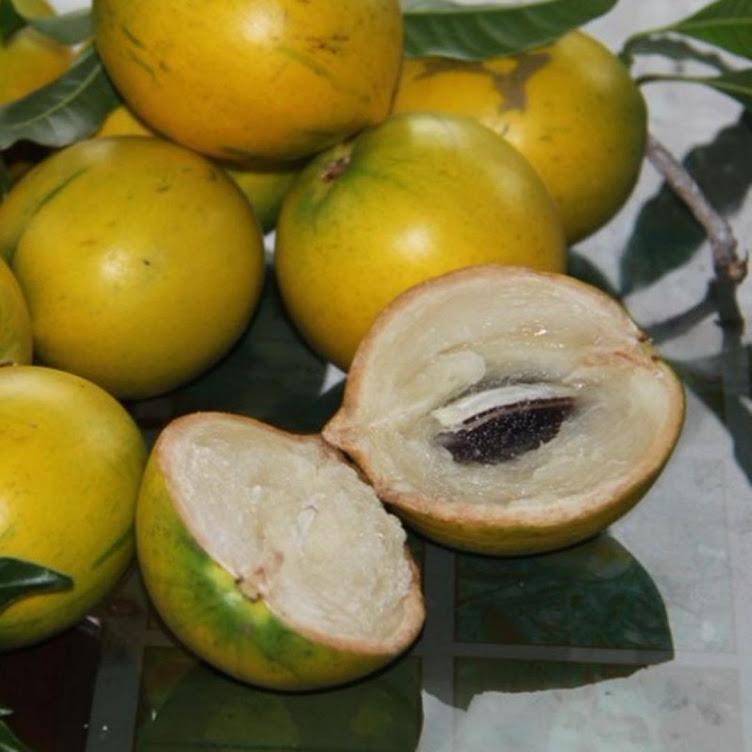 bibit tanaman buah sawo abiu benih pohon tabulampot untuk taman Padang Sidempuan