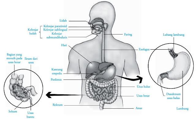 Organ sistem pencernaan seperti kerongkongan (esofagus), faring dan lambung