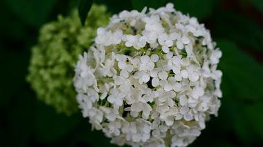 Hydrangea arborescens, cultivo y variedades