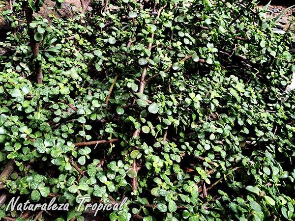 Tallo muy ramificado del Árbol de la Abundancia, Portulacaria afra