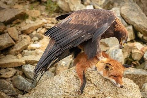 Wild falcon