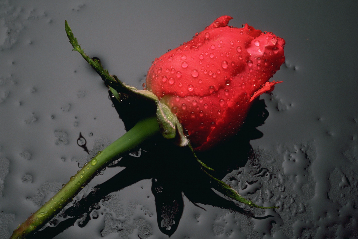Single Rose Wallpapers: Single Rose Wallpaper