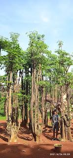 Tukang taman jual pohon peneduh
