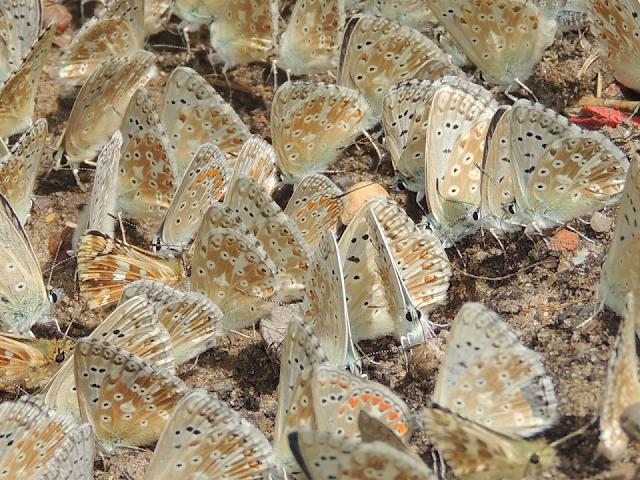 Polyommatus coridon en bebedero