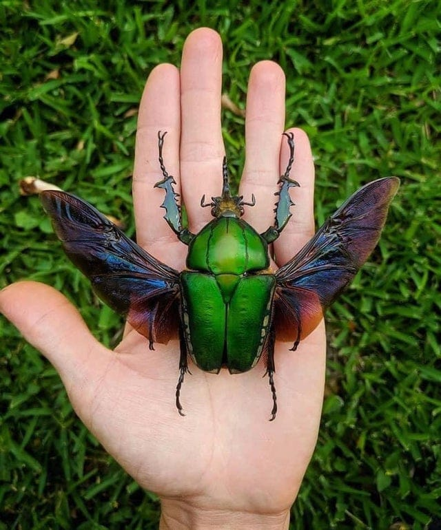 Mecynorhina torquata is one of the largest flower beetles in the world
