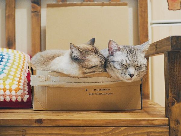サバトラ猫の首元に顔をうずめるシャムトラ猫