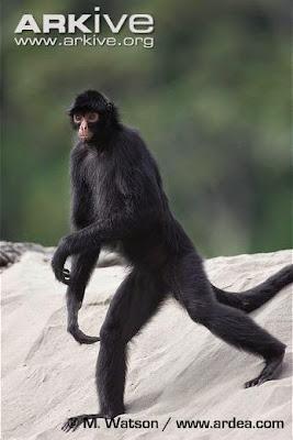 guiana spider monkey