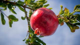 अनार बहुमूल्य औषधि, Healthy Pomegranate, pomegranate health benefit, pomegranate ke fayde, anar ke fayde, अनार के फायदे, अनार के  उपयोग, anar ke upyog, healthy anar, अनार के चमत्कारी फायदे, Anar Ke Chamatkari Fayde