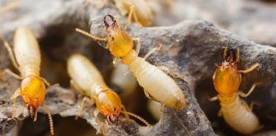 Nhận biết hình dạng các loài mối gây hại công trình