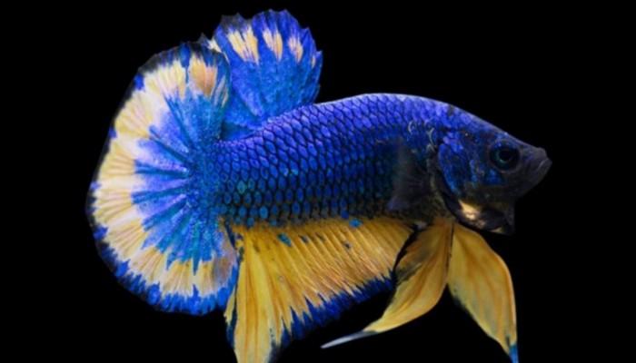 Cara Merawat Ikan Cupang Agar Warnanya Bagus