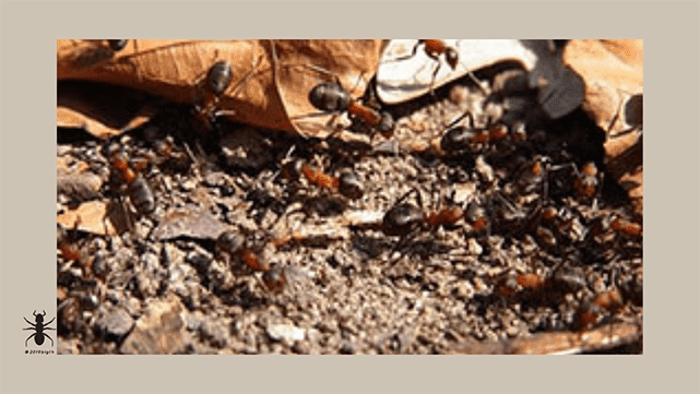 ✅categoria de grupos de hormigas-ants