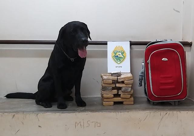 Cão Hulk encontra mais de 9kg de maconha em mala de jovem em Guarapuava