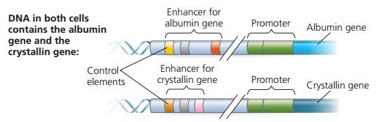 Tahapan packing DNA hingga membentuk Kromatin / kromosom protein histon, nuklrosom, kromatid, kromatin, ujung histon, ujung histon yang seringkali ditempeli gugus kimia, inisiasi transkripsi dari ekukariotik, transcription factor, enhancer, intron splicing pada gen troponin, Regulasi ekspresi gen eukariotik pada post-transkripsi, inisiasi translasi mRNA,  protein siklin (cyclin),