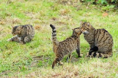 Domestic and Wild Cats