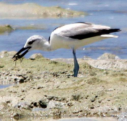 Indian birds - Image of Crab-plover - Dromas ardeola