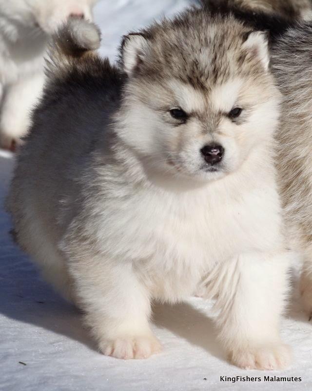 White Wolf 15 Chubby Alaskan Malamute Puppies That Will Make You Smile