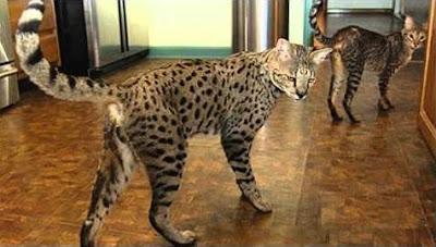 F1 vs F2 Savannah cat Personality, Size, Adoption, Cost