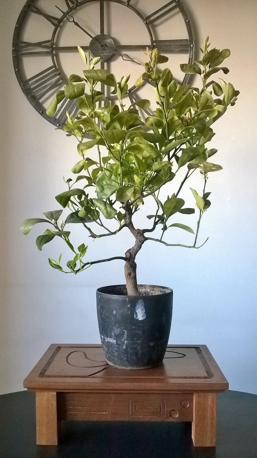 Rvores E Lendas Transplante Laranjeira Citrus Cinensis