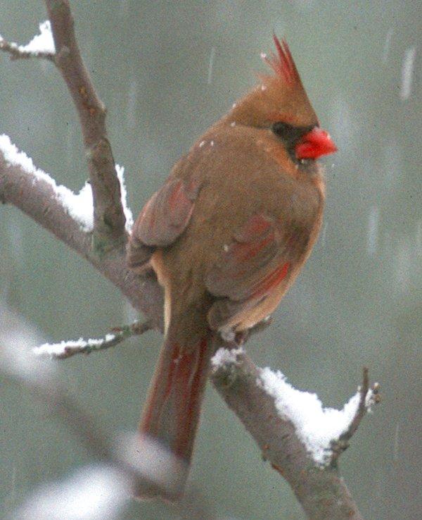 Cardinal Female New on North Carolina Cardinal Bird