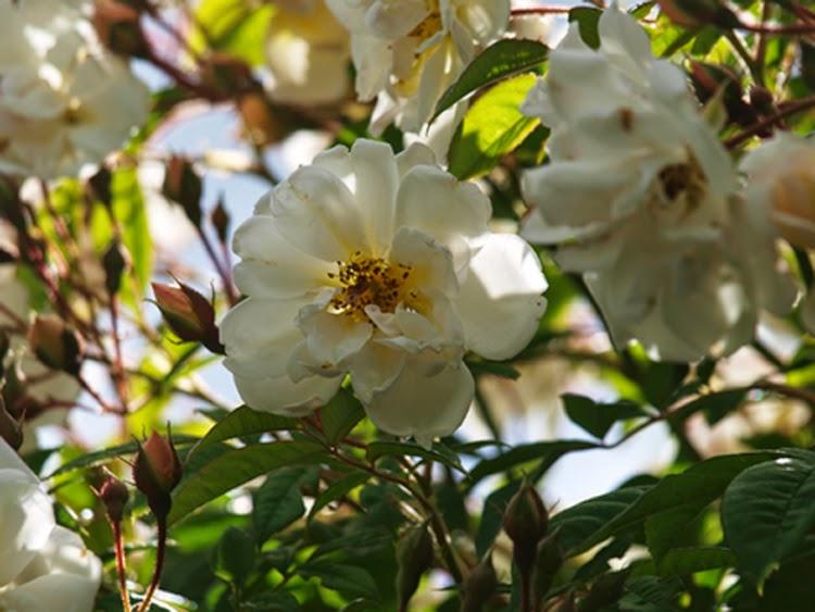 En livskraftig og uovertruffelig skøn rose er honningrosen Lykkefund. Livsvillig duftende og smuktblomstrende klatrerose