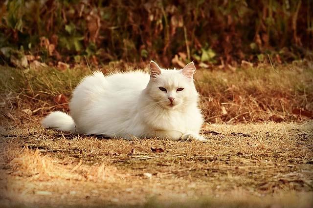 Gambar kucing anggora