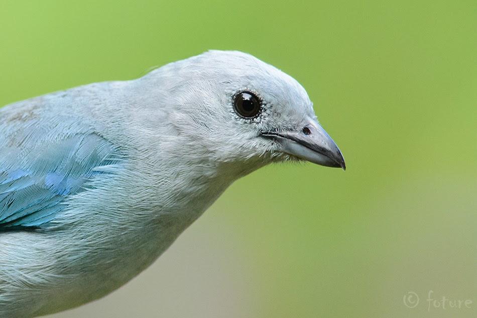 Thraupis episcopus, Blue-gray Tanager, tangara, tangaara