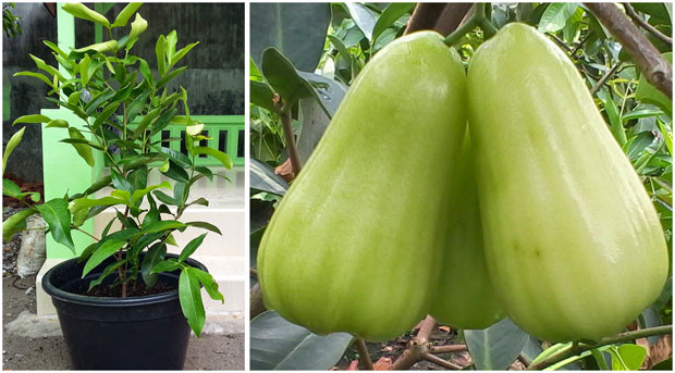 jambu madu super green