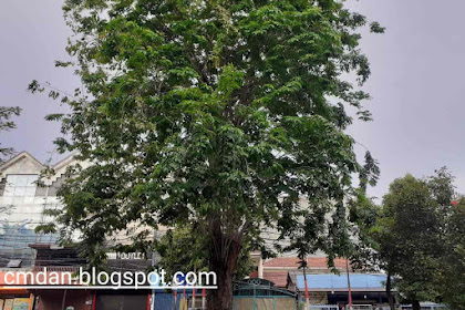 Khasiat serta manfaat dari pohon angsana