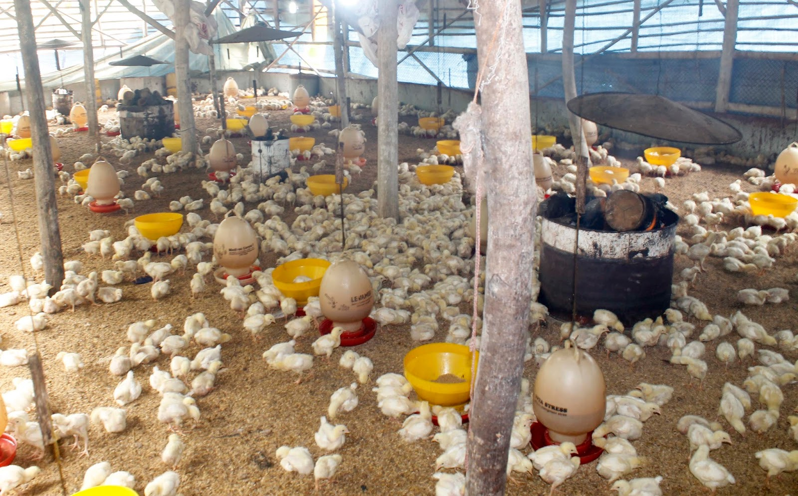 Mengenal Lebih Dalam Pemanas untuk Anak Ayam