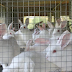 खरगोश पालकर कमा सकते हैं 7 से 8 लाख रु, 4 लाख में शुरू करें बिजनेस