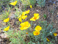 California poppies en route from Summit 2843