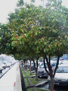 Pohon tanjung tanaman peneduh