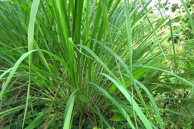 Dlium Lemon grass (Cymbopogon citratus)