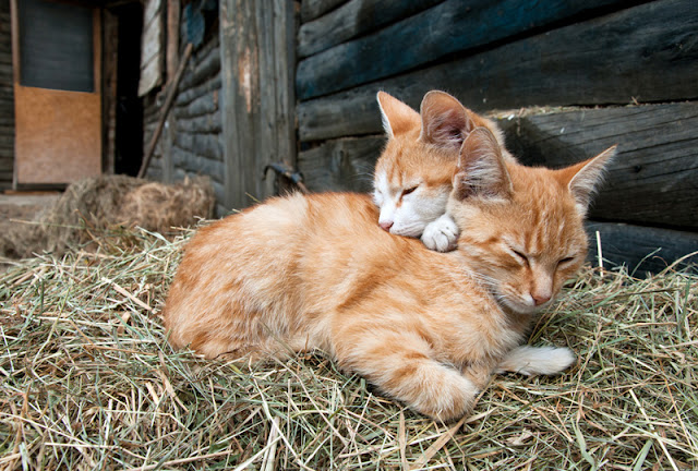 Two ginger kittens curled up together on some straw outside a barn