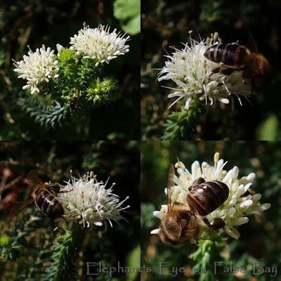 Garlic buchu with bees