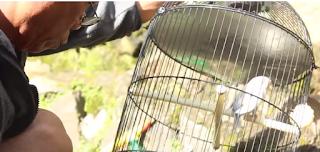 Perawatan Burung Lovebird Jawara - Perawatan Lovebird Sinderela Asal Semarang yang Selalu Jawara
