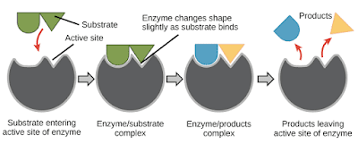 Enzyme catalysis is very rapid; usually 1 molecule of an enzyme can act upon about 1000 molecules of the substrate per minute.