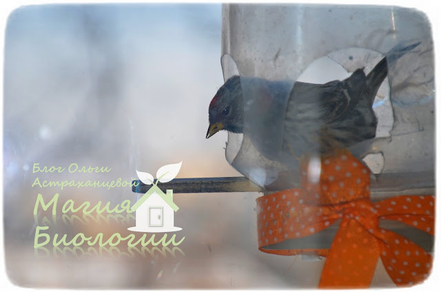 наблюдение-птиц-на-кормушках-магия-биологии-чечетка