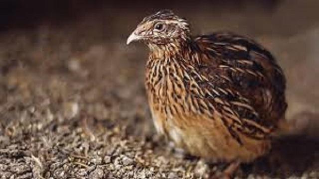 ternak burung puyuh
