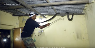 Mengerikan, Penangkapan King Kobra Sepanjang 5 Meter di Atap Rumah
