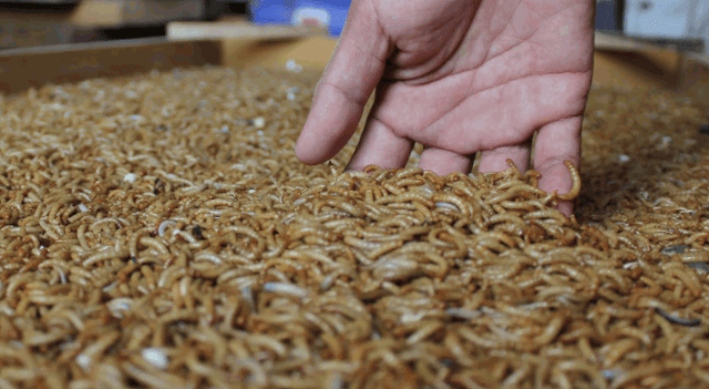 Bisnis Menguntungkan dari Budidaya Ulat Hongkong