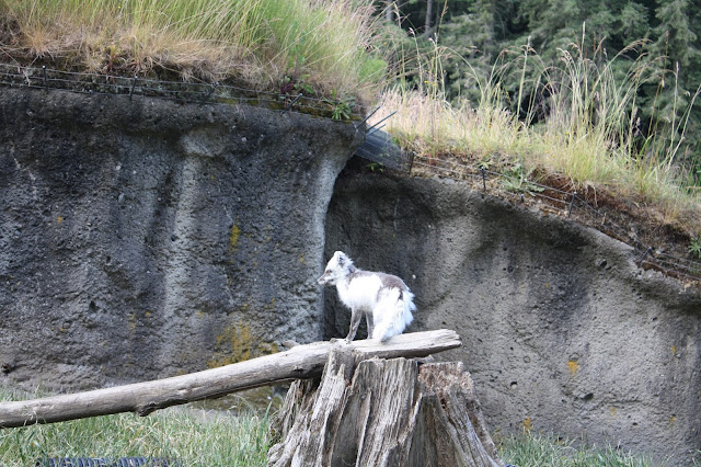 Artic Fox at Point Defiance Zoo