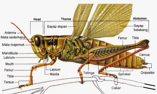 struktur tubuh belalang