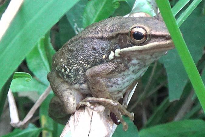 Dlium Java white-lipped frog (Chalcorana chalconota)