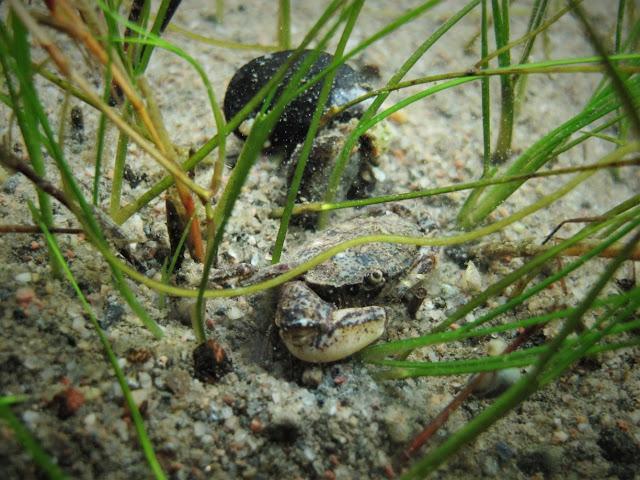 Liejutaskurapu kasvien välissä hiekkapohjalla.